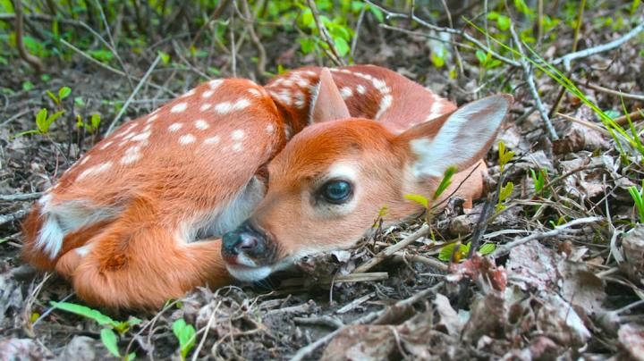 New Study: Big Timber Not Suitable for Whitetail Fawns Preview Image