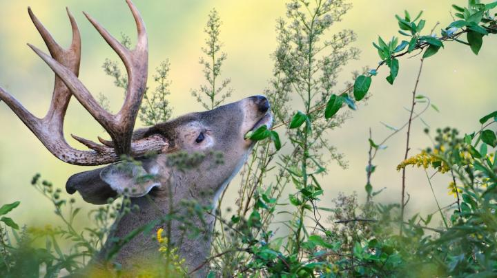 What Deer Hunters Should Know About Honeysuckle Preview Image