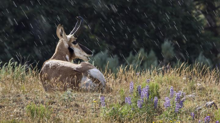 Making the Best of Pronghorn Bowhunts After Heavy Rains  Preview Image