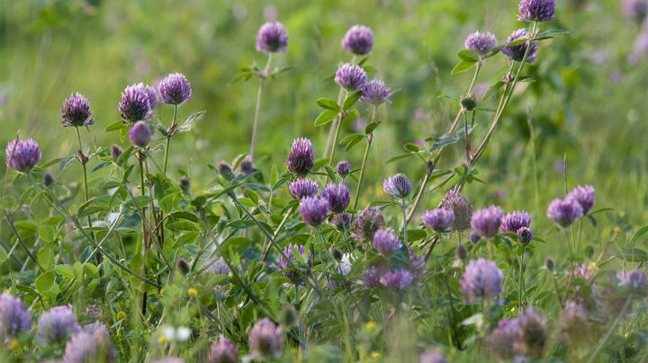 Food Plot Seed: How to Plant Red Clover Preview Image