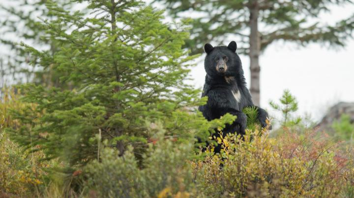 How to Stalk a Black Bear Preview Image