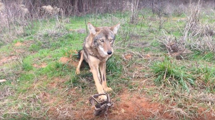 How to Trap Coyotes to Increase Deer Density Preview Image