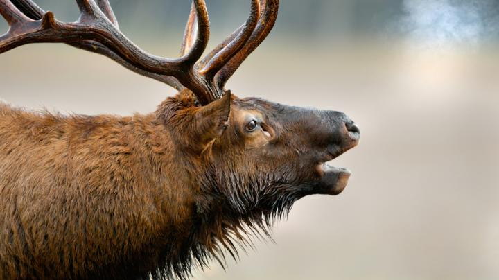 TWRF: Enter for a Chance to Hunt Tennessee Elk This Fall Preview Image