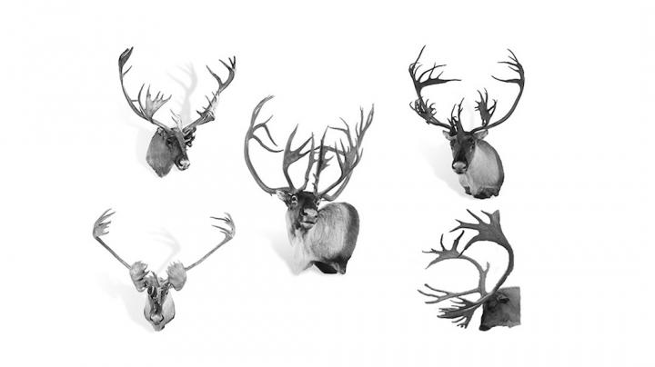 The 5 World Record Caribou By Subspecies Preview Image
