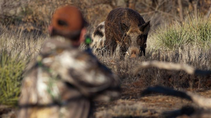 5 Reasons Why You Should Hunt Wild Pigs Preview Image