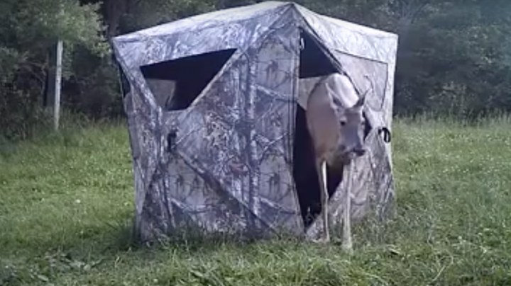 Deer Walks Into Ground Blind Preview Image