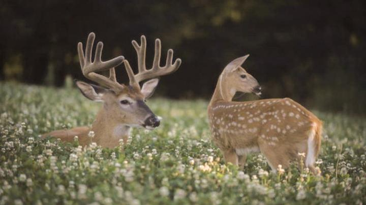 Summer Whitetails Preview Image