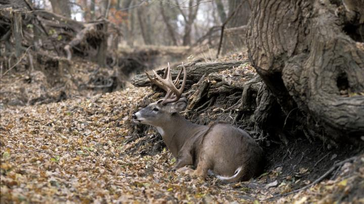Habits of Mature Whitetail Deer Preview Image