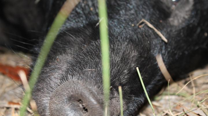Bowhunting Hogs in Florida Preview Image