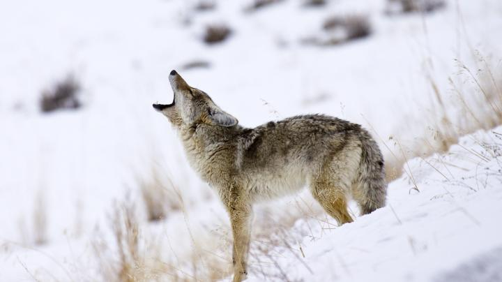 How to Hunt the Western Coyote Preview Image