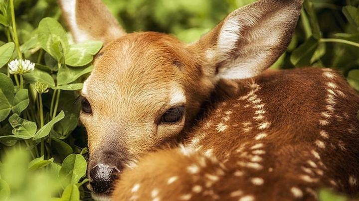 How to Save More Fawns Preview Image