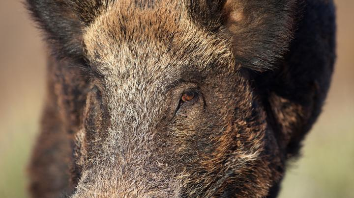 Pig Hunting in California Preview Image