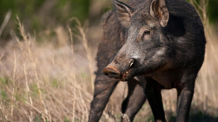 Pig Hunting in Texas Photo Gallery Preview Image