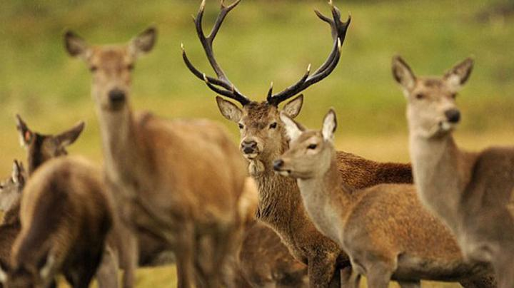 Hunting Red Stags In Scotland Preview Image