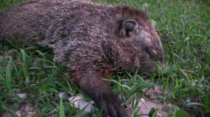 How to Scout for Groundhogs with Trail Cameras Preview Image
