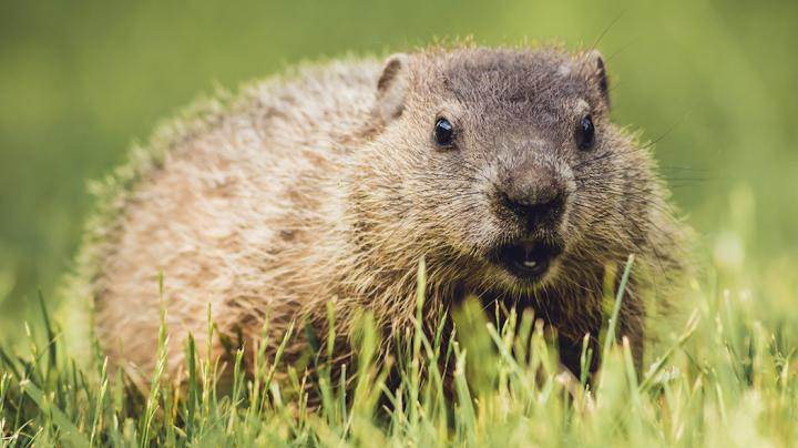 How to Hunt Groundhogs Preview Image