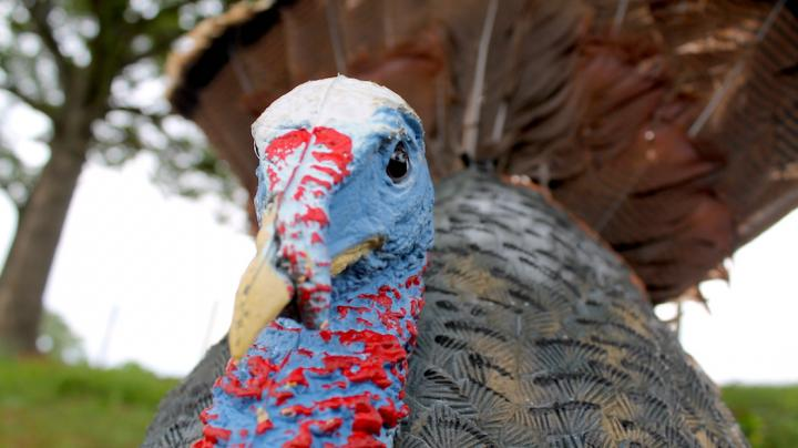 Quiz: How Smart Are You with Turkey Decoys? Preview Image