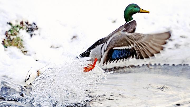 7 Steps To Jump-Shooting Waterfowl Preview Image