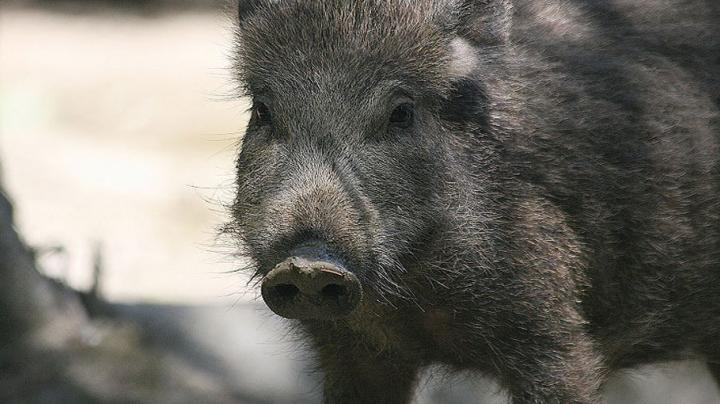My First Wild Boar - Hunting In Hungary Preview Image
