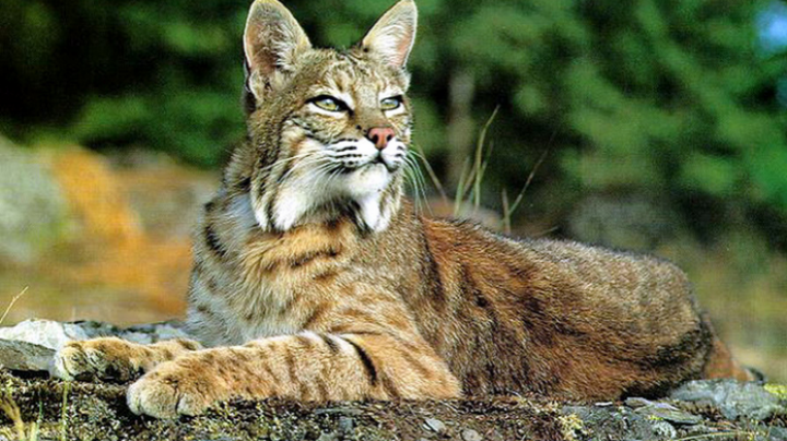 Illinois Bobcat Bill Awaits Governor's Consideration Preview Image