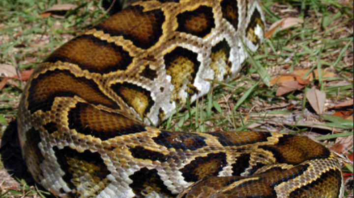 Florida Kicks Off Python Removal Preview Image