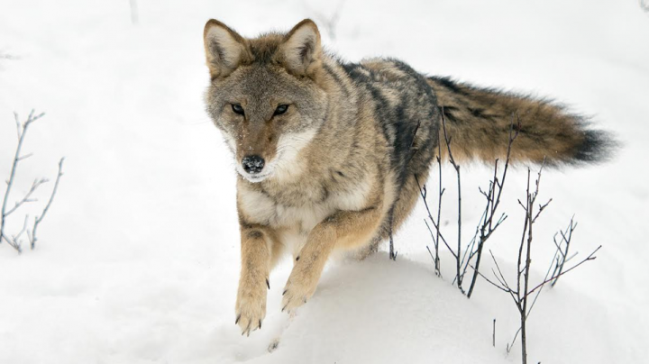 Group Defends Coyote Contest Preview Image
