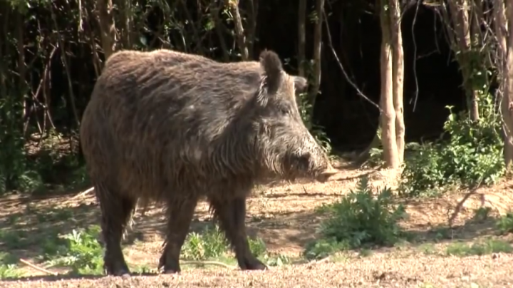 Facts on Friday | Wild Boar  Preview Image
