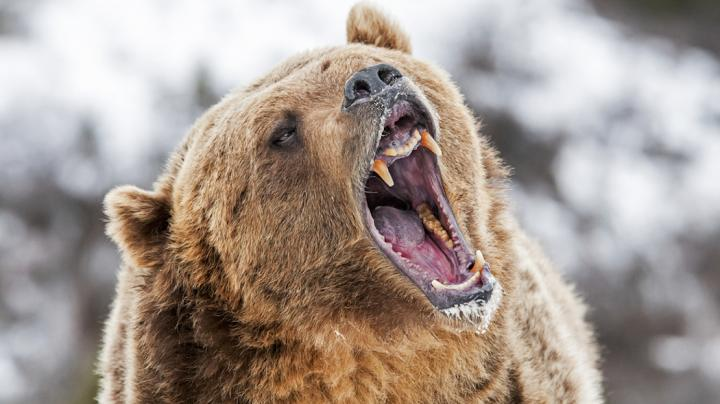 The Delisting of the Yellowstone Grizzly Bear Preview Image
