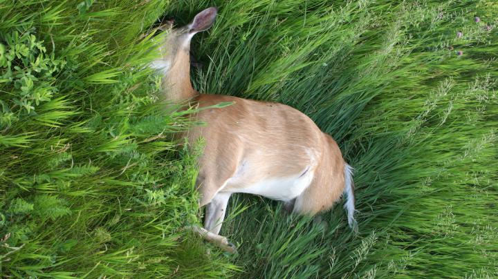 State Suspends Active Shooting of Deer for CWD Testing Preview Image