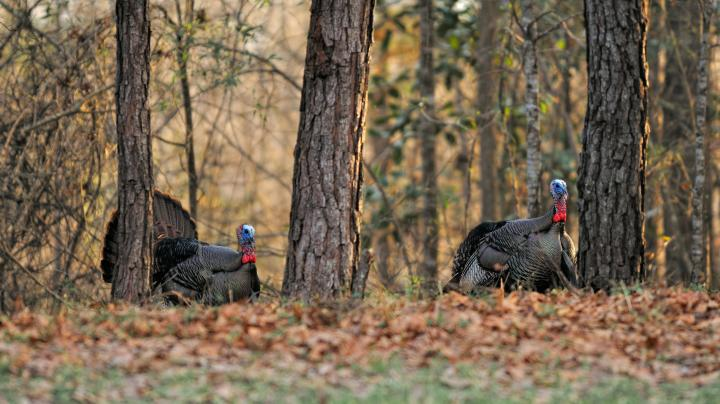 How to Turkey Hunt on Small Properties Preview Image