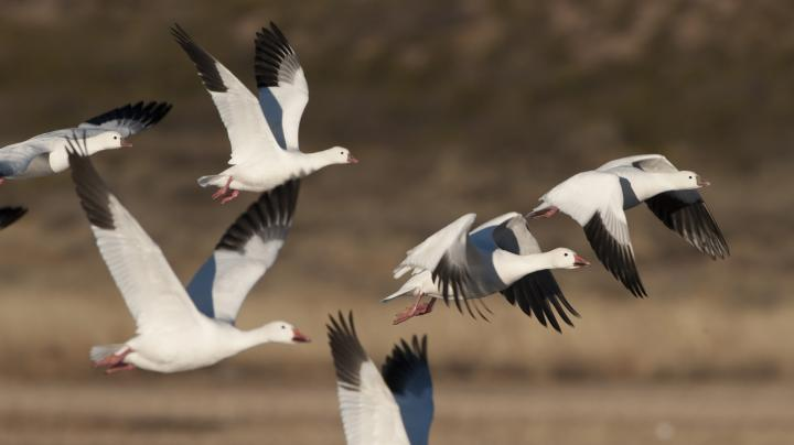 Snow Geese Season Expands in Canada Preview Image