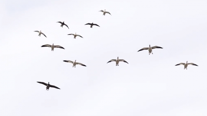 The X: Conservation Snow Goose Season Preview Image