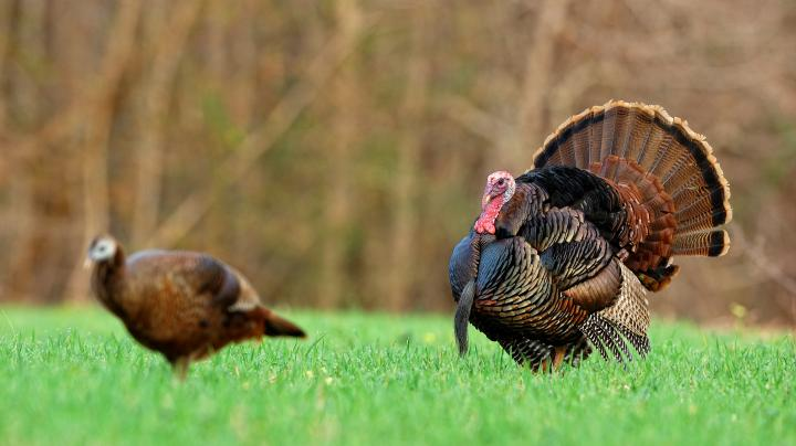 Turkey Hunting in South Carolina Preview Image