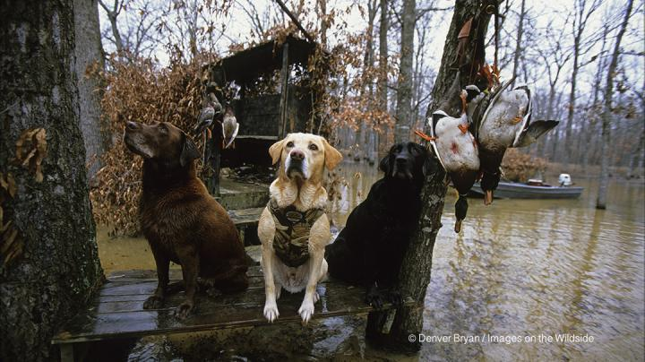 Tough Hunting Persists in Southern Mississippi Flyway Preview Image