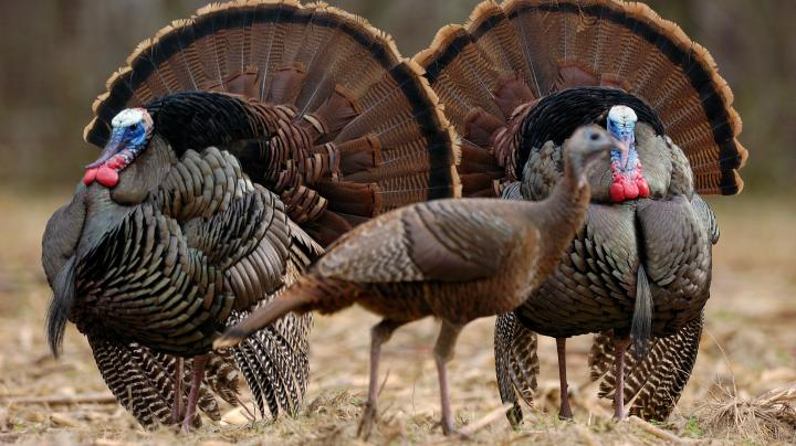 Turkey Hunting in Connecticut Preview Image