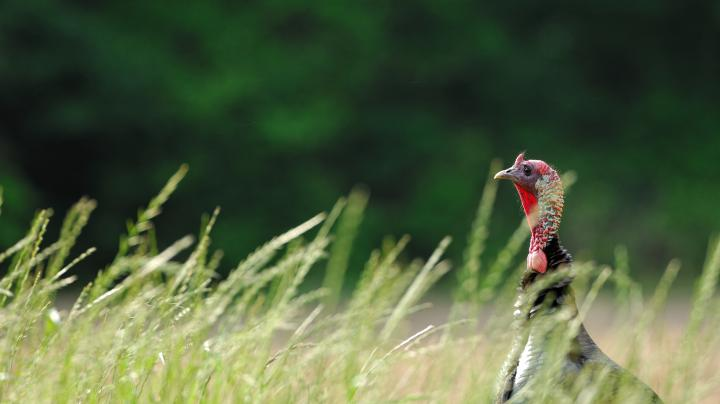Turkey Hunting in Louisiana Preview Image