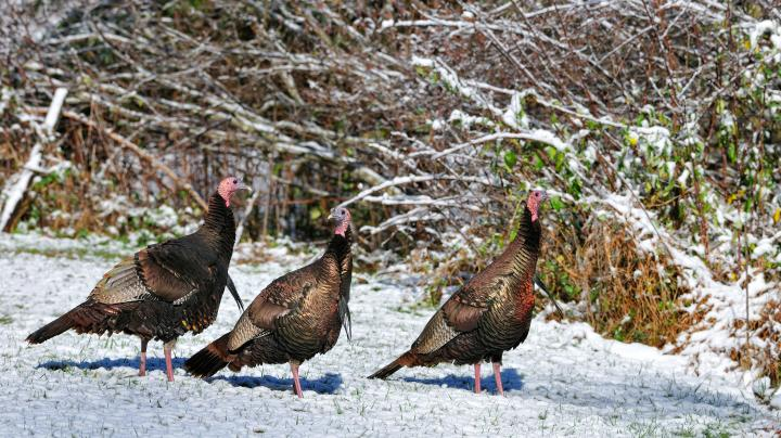 Turkey hunting articles blogs galleries videos page 5 for Minnesota non resident fishing license cost