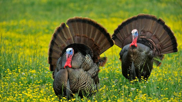 Turkey Hunting in New Hampshire Preview Image
