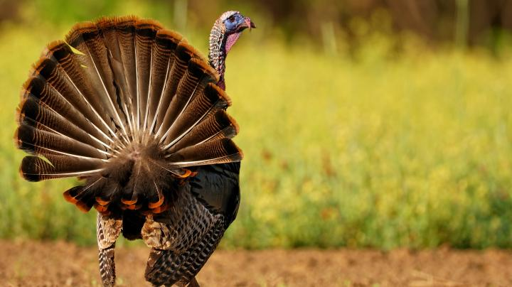 Turkey Hunting in North Carolina Preview Image