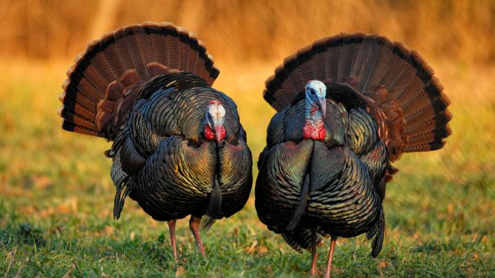 Turkey Hunting in Ohio Preview Image