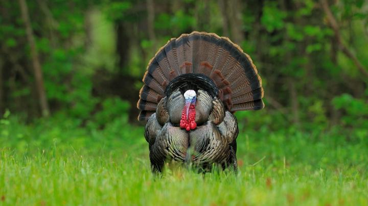 Turkey Hunting in Virginia Preview Image