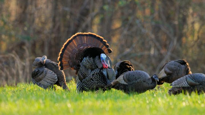 Turkey Hunting in Wisconsin Preview Image