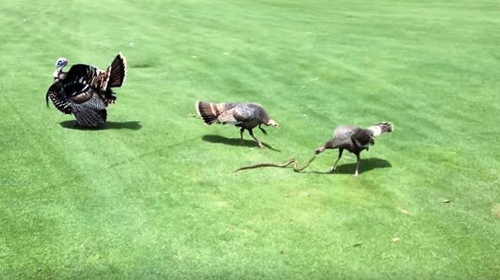 Video: Hen Turkey Attacks Big Snake While a Gobbler Struts Nearby Preview Image
