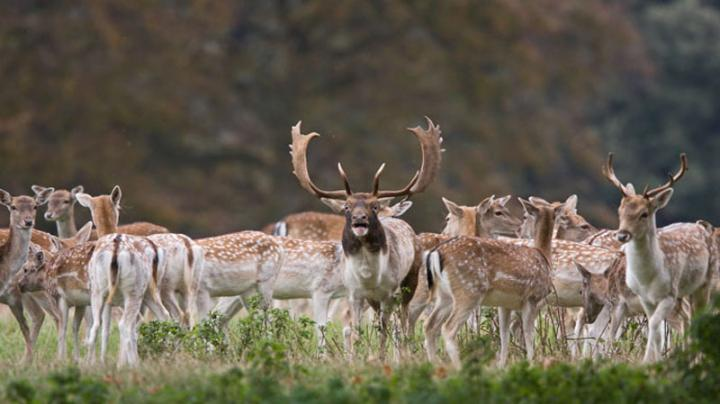 Fallow Deer Stalking & Cull Preview Image