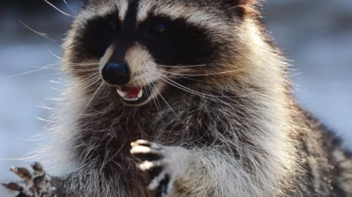 Pet Raccoon Overdoses on Illegal Drugs Preview Image