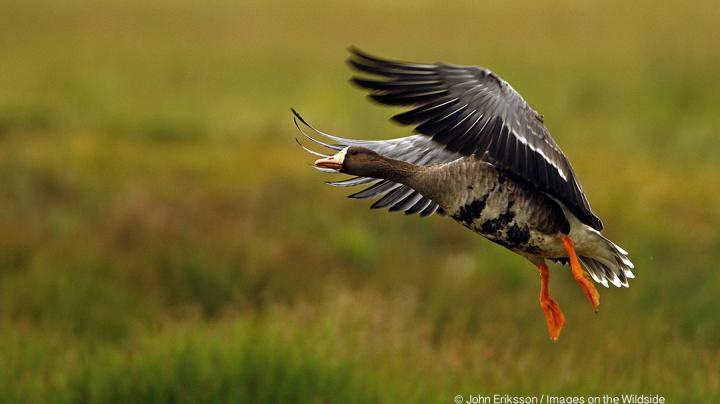Big Migration Underway in Southern Mississippi Flyway Preview Image