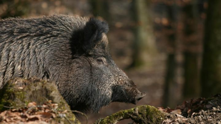 Wild Boar Hunting In Hungary Preview Image