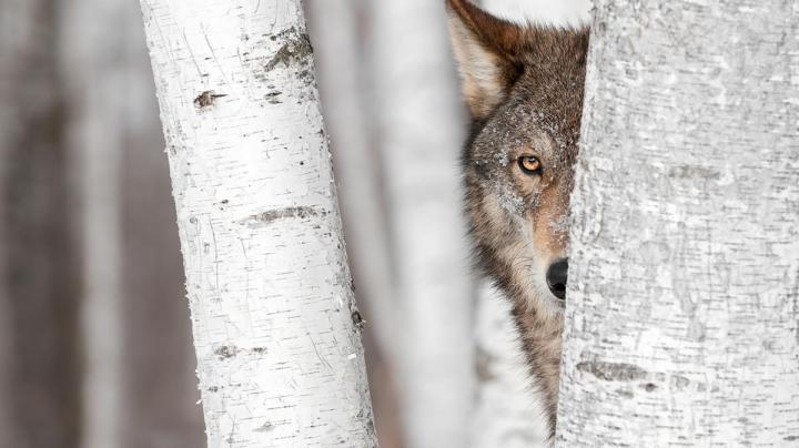 California Suspects Wolf Depredation Preview Image