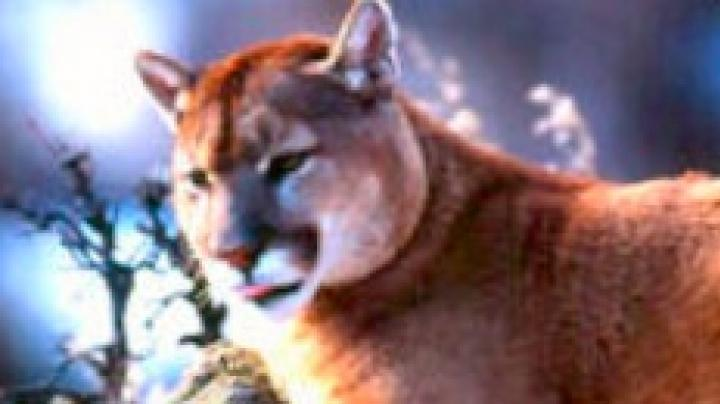 No Limits on Some Wyoming Cougars? Preview Image