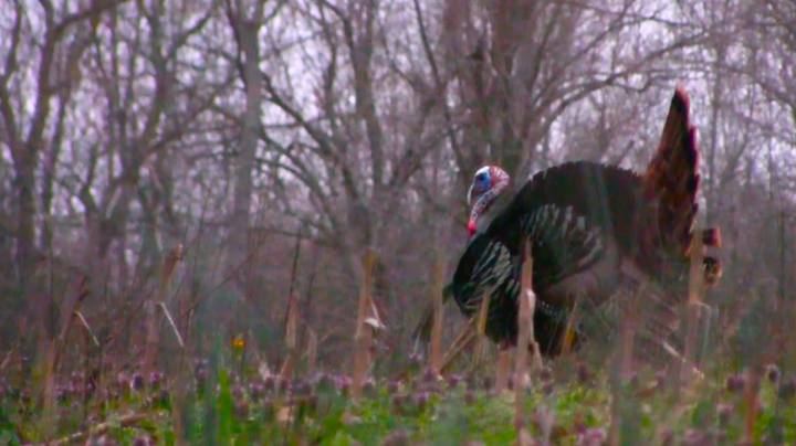 TKO Youth Turkey Hunt: Boy Kills Huge Triple-Bearded Gobbler  Preview Image